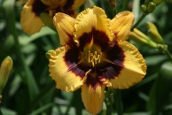 Butter and Jam Daylily
