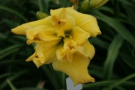 Dubbly Wubbly Unusual Form Double Daylily