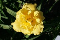 Electric Persuation Double Daylily