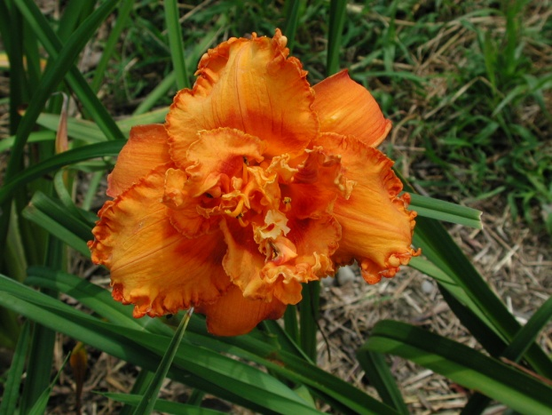 Fire Burn and Caldron Bubble Daylily Blooming Double