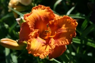 Fire Burn and Caldron Bubble Daylily