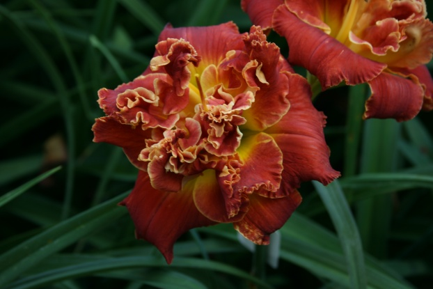 Night at the Prom Daylily