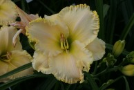 Well of Wisdom Daylily